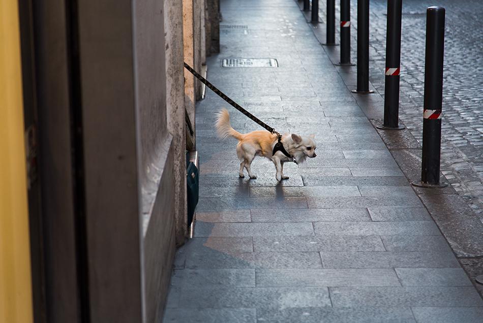 Rom, Hund