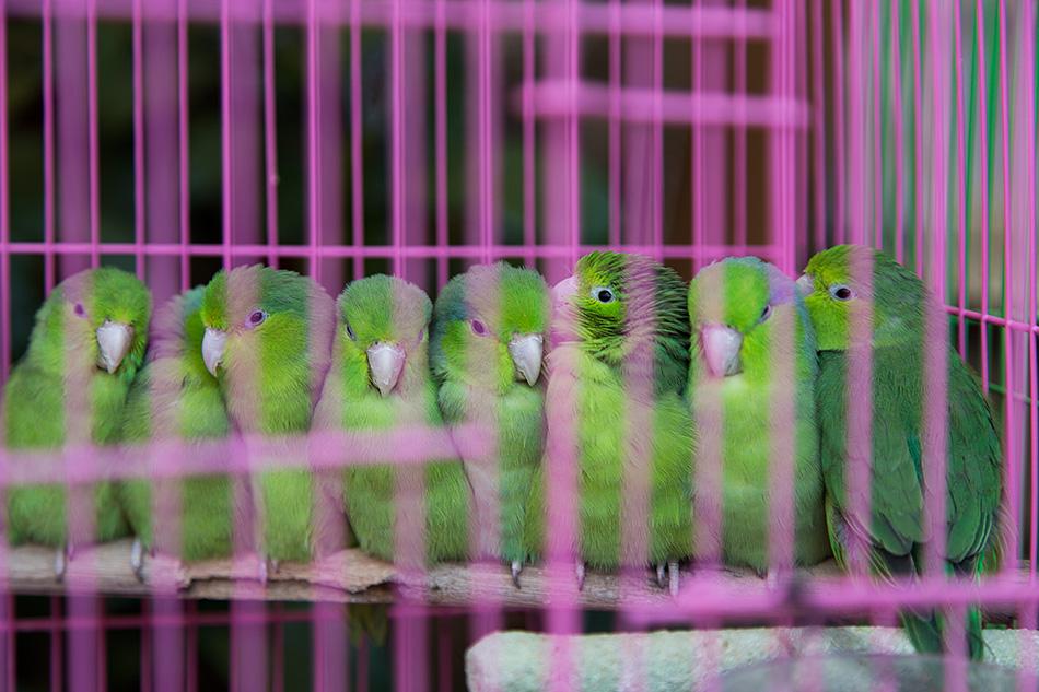 Fabian Fröhlich, Hongkong, Bird Market, Parrotlets