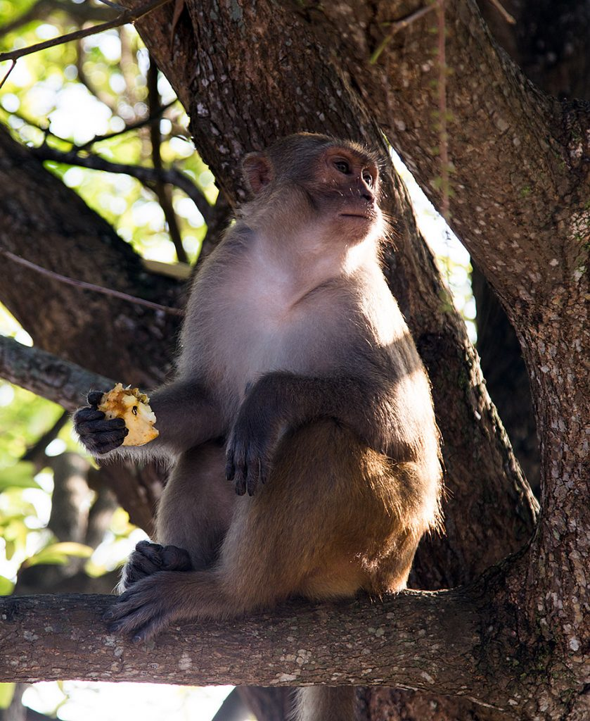 Da Nang, Linh Ứng Pagoda, Monkey
