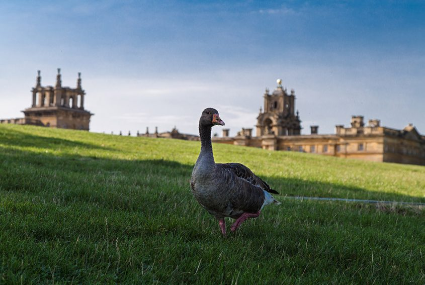 Fabian Fröhlich, Blenheim Palace, Goose in front of the palace