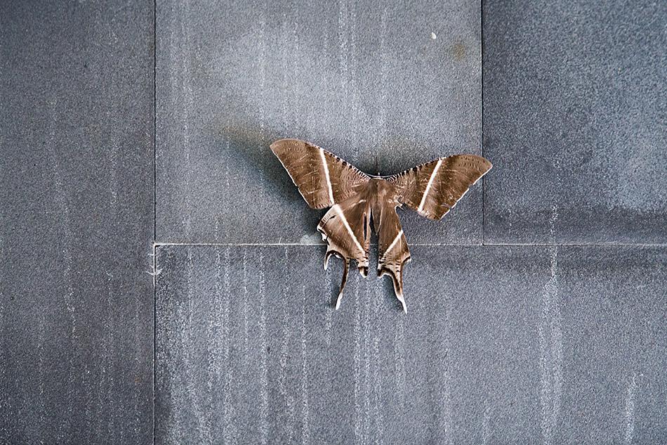 Fabian Fröhlich, Kuala Lumpur, Tropical Swallowtail Moth