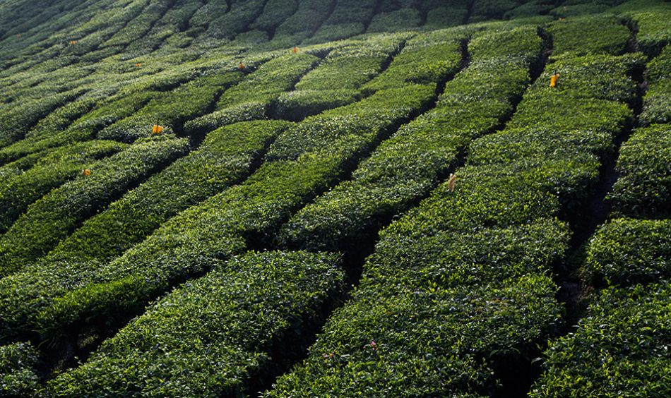 Fabian Fröhlich, Cameron Highlands, Boh Sungei Palas Tea Garden