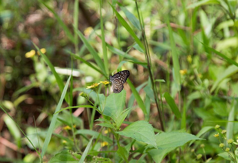 Fabian Fröhlich, Borneo, Bako National Park, Butterfly