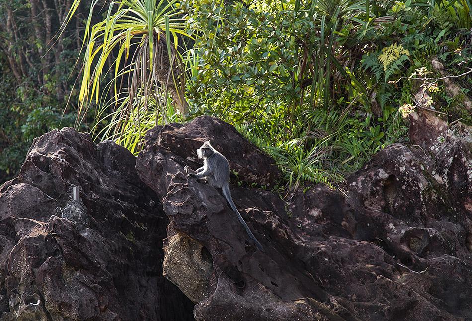 Fabian Fröhlich, Borneo, Bako National Park, Silver-leafed Monkey