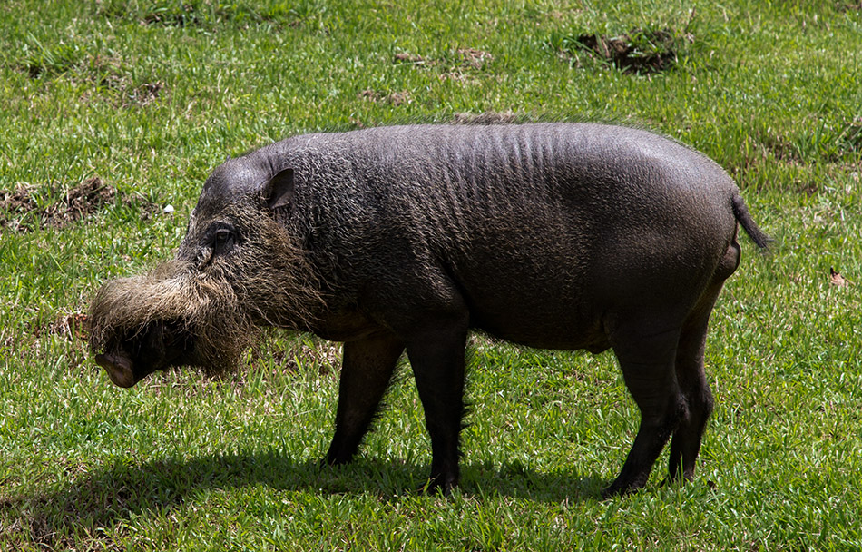 Fabian Fröhlich, Borneo, Bako National Park, Bornean bearded pig