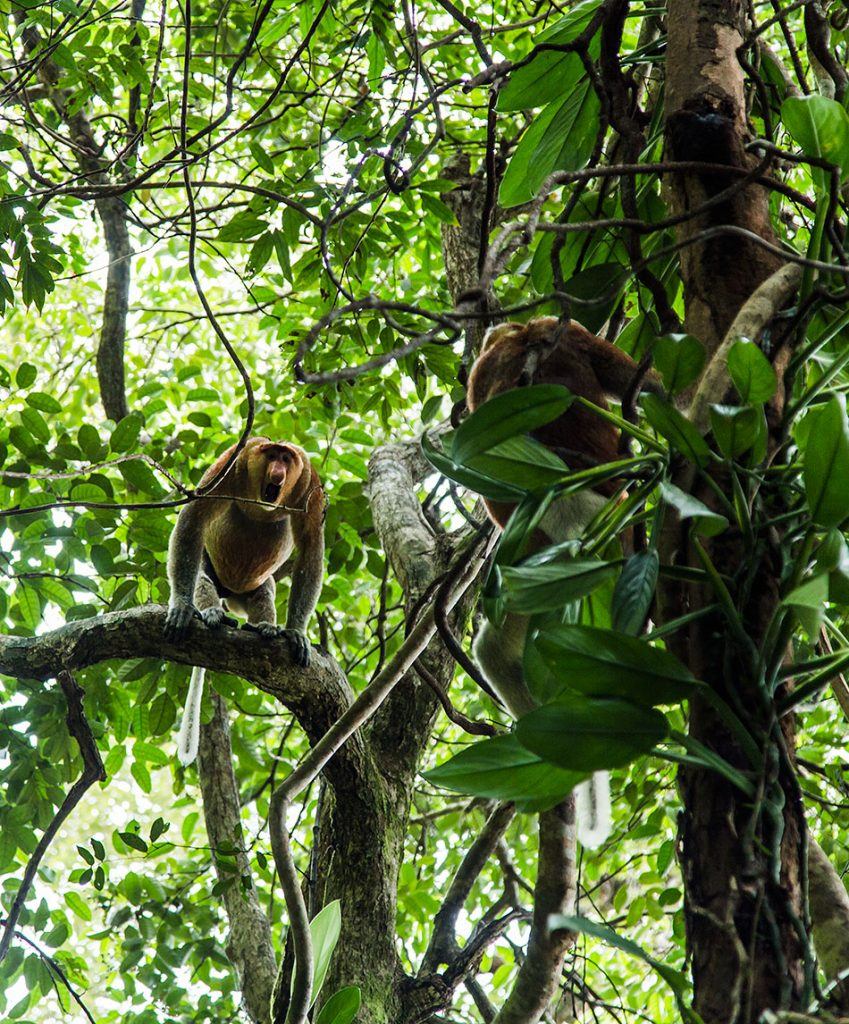 Fabian Fröhlich, Borneo, Bako National Park, Proboscis monkey