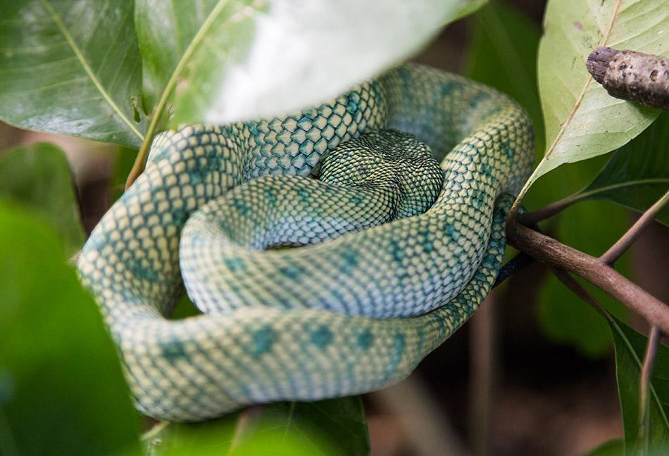 Fabian Fröhlich, Borneo, Bako National Park, Wagler's pit viper