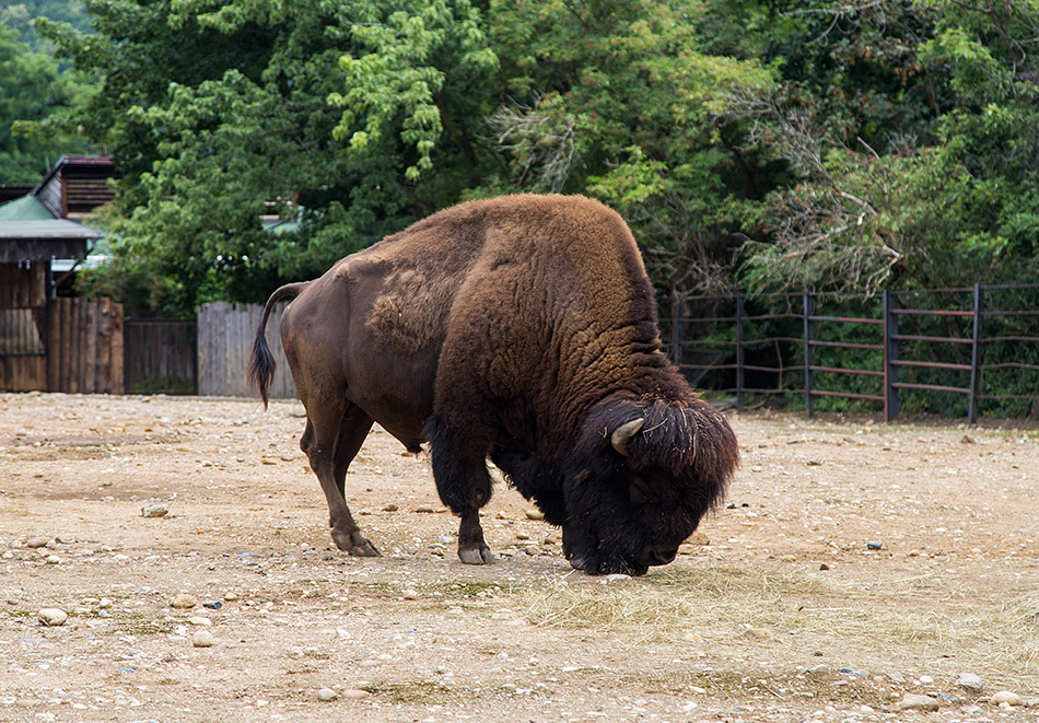 Fabian Fröhlich, Zoo Prag, Bison